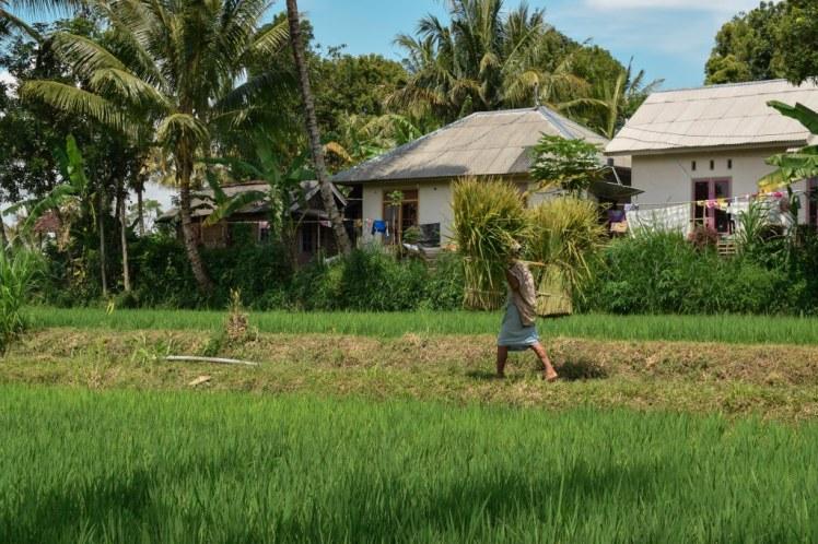 Tetebatu Lombok Rice