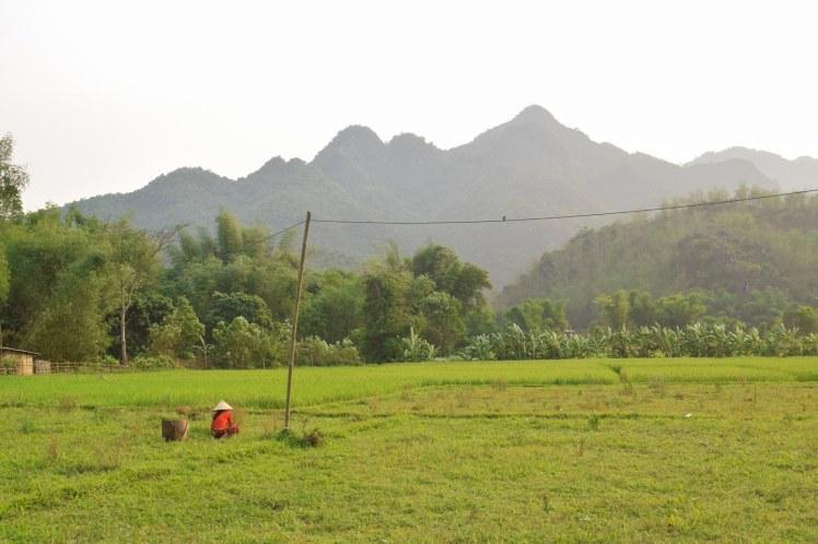 Cultivarea orezului